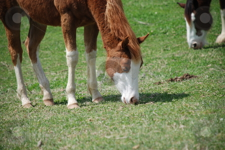 Horse grazing stock photo, A young horse feeding on a field of grass. by Caley Gonyea
