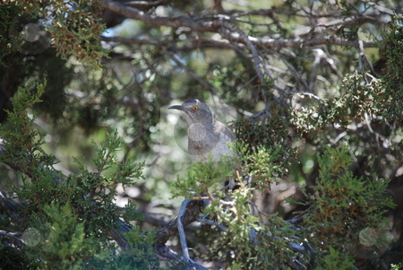 Thrasher in Juniper Tree stock photo, A mother trasher eyeing the camera closely as she guards her nest from a safe distance in a juniper tree. by Caley Gonyea