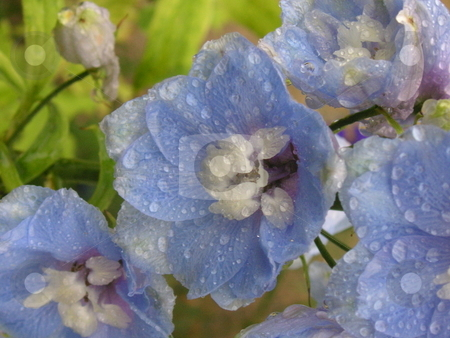 Waterdroplets on Delphinium stock photo, A close up of a blue delphinium with waterdroplets on it. by Caley Gonyea