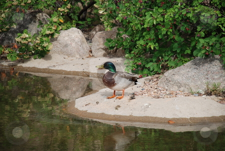 Mallard Duck Quacking on Shore stock photo, A quick capture of a mallard duck quacking with his bill opened on the shore of a pond. by Caley Gonyea