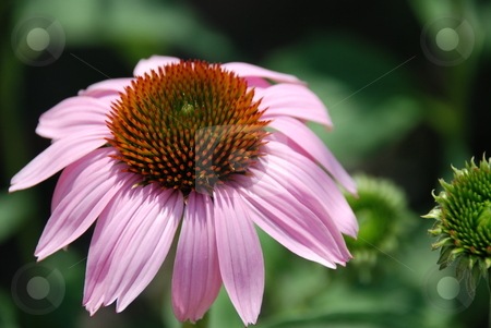 Pink Echinacea stock photo, A close-up of a pink echinacea flower. by Caley Gonyea
