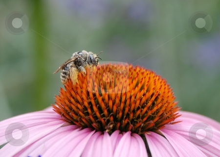 Bumble Bee on Echinacea Flower stock photo, A bumble bee resting on a echinacea flower. by Caley Gonyea