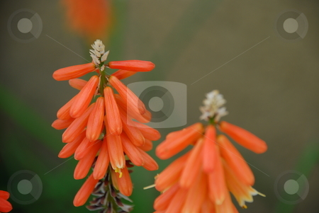 Red Hot Poker stock photo, A close up of a red hot poker plant. by Caley Gonyea
