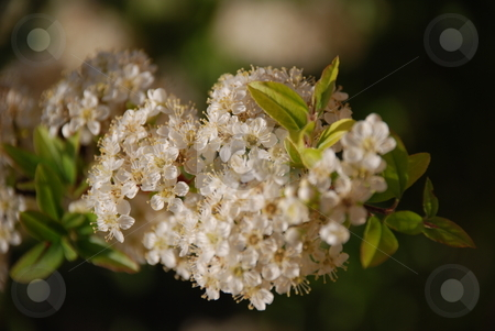 Pyracantha Blossoms stock photo, A close up of blossoms on a pyracantha bush. by Caley Gonyea