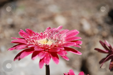 Pink Zinnia stock photo, A close up of a pink zinnia. by Caley Gonyea