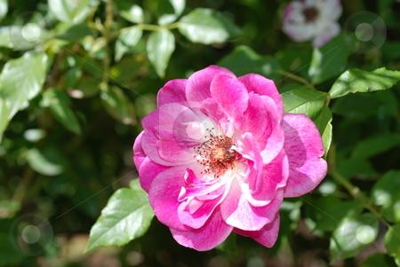 Fuschia Rose stock photo, A fuschia (pink/purplish) rose by Caley Gonyea