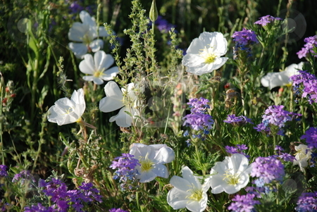 Wild White Morning Flowers stock photo, A cluster of white and purple wildflowers among grass (weeds) one early morning with soft lighting in summer. by Caley Gonyea