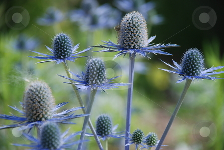 Blue Thistle (Eryngium x oliverianum) stock photo, A perennial of blue-lavender thistlelike flowers, with jagged-edged midgreen/blue leaves. Bees are seen swarming around. by Caley Gonyea