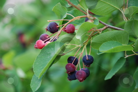 Wild Berries stock photo, Wild berries hanging from a bush. by Caley Gonyea