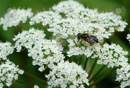 Insekt auf Dolde stock photo, Urlaub Pfingsten 2006 Hinterglemm ?sterreich by Wolfgang Heidasch