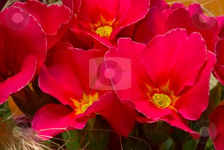 Primeln stock photo, Die Primeln (Primula) sind eine Gattung aus der Familie der Primelgew?chse (Primulaceae). Etwa 500 Arten geh?ren zu dieser Gattung. by Wolfgang Heidasch