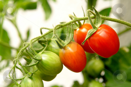 Tomatoes stock photo, Strauchtomate by Wolfgang Heidasch
