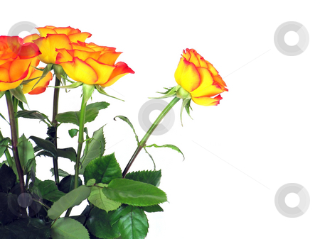 Roses stock photo, A photography of some red yellow roses by Markus Gann