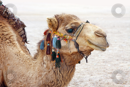 Camel stock photo, A photography of a camel in the egypt desert by Markus Gann