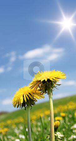 Dandelion stock photo, A photography of two yellow dandelion and a bright day by Markus Gann