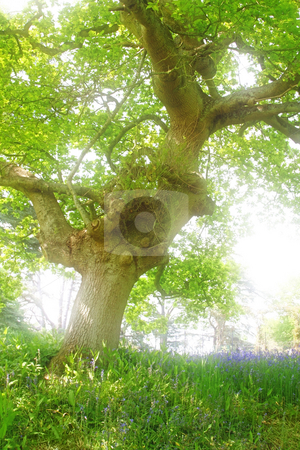 Old tree stock photo, A photography of a big old tree by Markus Gann