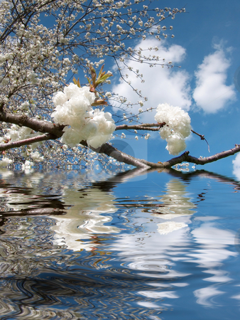 Cherry tree stock photo, A photography of a cherry tree with blossom by Markus Gann