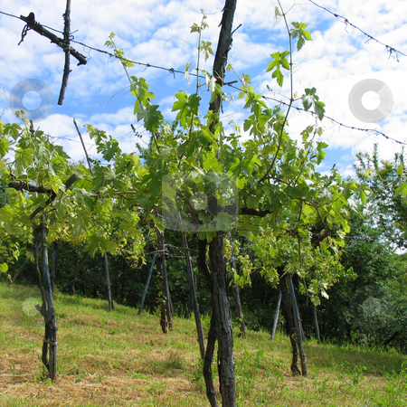 Wine stock photo, A Photography of a green wine hill by Markus Gann