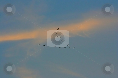 Goose stock photo, A photography of a swarm of goose by Markus Gann