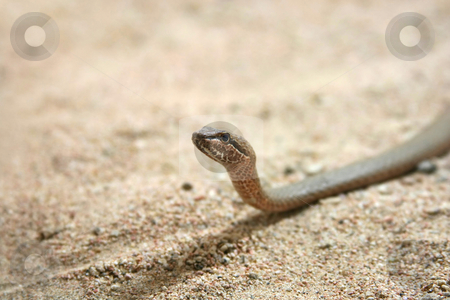 Snake stock photo, A photography of a snake in the desert by Markus Gann