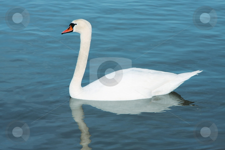 White young swan stock photo, A photograph of a white young swan by Markus Gann