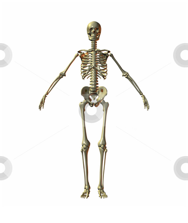 Skeleton stock photo, A illustration of a skeleton on a white background by Markus Gann