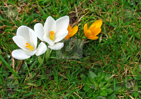 White crocuses stock photo, A photography of white crocuses in the grass by Markus Gann
