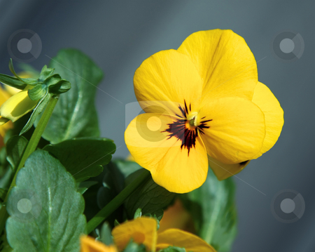 Yellow viola stock photo, A photography of a yellow flower viola by Markus Gann