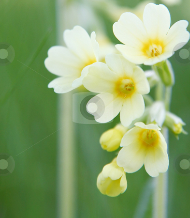 Yellow primrose background stock photo, A photography of a yellow primrose background by Markus Gann