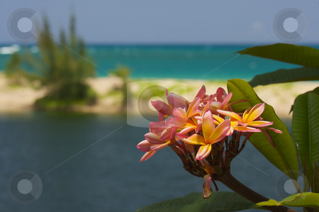 Wild Plumeria Flower stock photo, Wild Pink and Yellow Plumeria on a Tropical Shore by Andy Dean