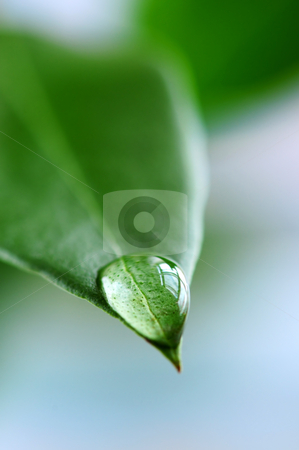 Water drop on green leaf stock photo, Macro of a water drop on the tip of a green leaf by Elena Elisseeva