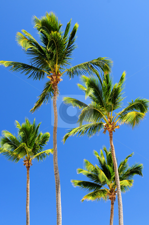 Palms on blue sky background stock photo, Sunlit palm trees on blue sky background by Elena Elisseeva