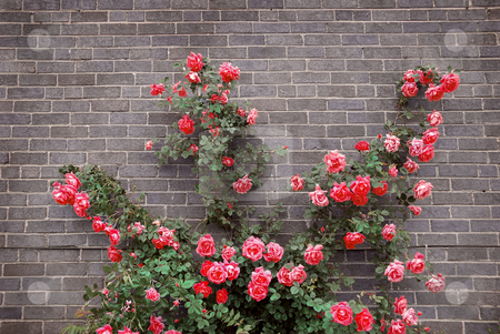 Roses on brick wall stock photo, Climbing red roses on a brick wall of a house by Elena Elisseeva