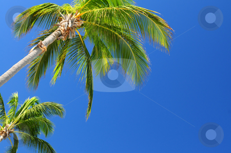 Palms on blue sky stock photo, Tropical background of palms on blue sky by Elena Elisseeva