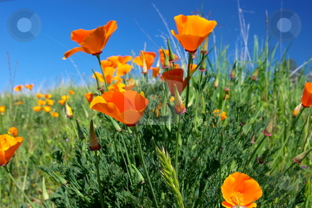 Orange California Poppies stock photo, California poppies against a blue spring sky with green foliage by Lynn Bendickson