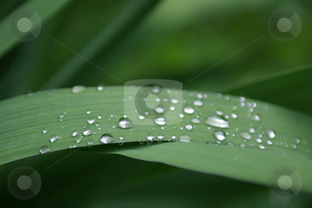 Water Drops On Iris Leaves stock photo, Water droplets on an Iris leaf by Lynn Bendickson