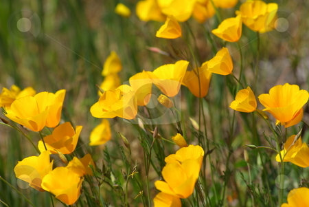 Yellow Poppies In A field stock photo, California poppies in a field of green grass by Lynn Bendickson