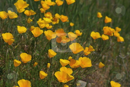 Yellow California Poppies stock photo, California poppies in a field of green grass. by Lynn Bendickson