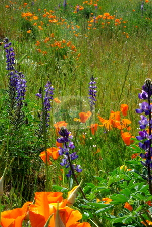 Poppies And Lupin stock photo, Orange California poppies and blue Lupin flowers in a green field. by Lynn Bendickson