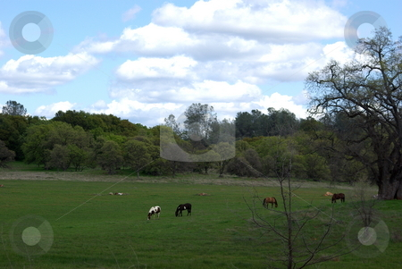Horses Grazing In A Wooded Pasture stock photo, Numerous Horses grazing in a pasture surrounded by Oak trees by Lynn Bendickson
