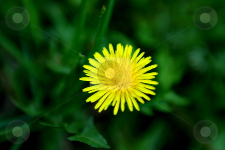 Bright Yellow Dandielion stock photo, A yellow Dandelion standing by its self in a shallow depth of field. by Lynn Bendickson