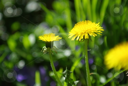 Side View Of 2 Dandelions stock photo, Two yellow dandelions in different stages of blooming. by Lynn Bendickson