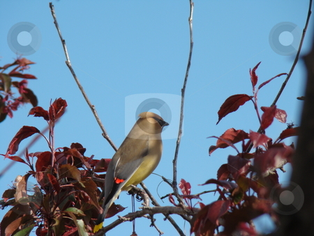 Cedar Waxwing (Bombycilla Cedrorum) stock photo, A Cedar waxwing perched on a branch of a fruit tree by CHERYL LAFOND