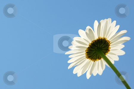 Daisy on blue stock photo, Single daisy flower on blue sky background by Elena Elisseeva