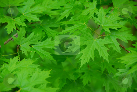 Green leaves background stock photo, Green maple  leaves background by Elena Elisseeva