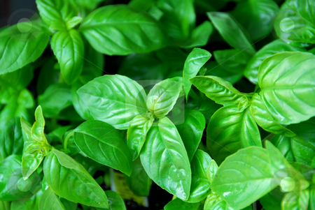Fresh basil stock photo, Fresh green basil by Elena Elisseeva