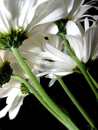 White daisy on black background stock photo, White daisies on black background with green stems and undersides visible, closeup by Elena Elisseeva