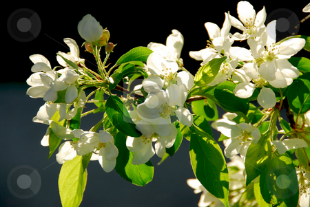Apple blossom stock photo, Branch of an apple tree blooming on background of blue sky by Elena Elisseeva