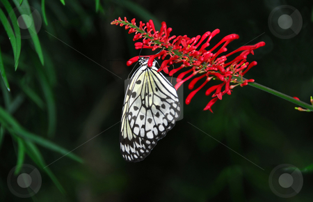 Rice paper butterfly stock photo, Rice paper butterfly on red flower by Elena Elisseeva