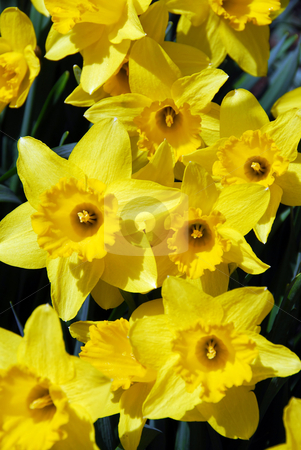 Daffodils stock photo, Daffodils closeup by Elena Elisseeva